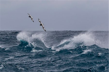 Adult cape petrels (Daption capense) in rough seas in English Strait, South Shetland Islands, Antarctica, Polar Regions Stock Photo - Rights-Managed, Code: 841-08101672