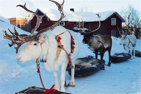 reindeer in snow - Reindeer, Winter Festival, Jokkmokk, Lapland, Arctic Circle, Sweden, Scandinavia, Europe Stock Photo - Rights-Managed, Code: 841-08101845