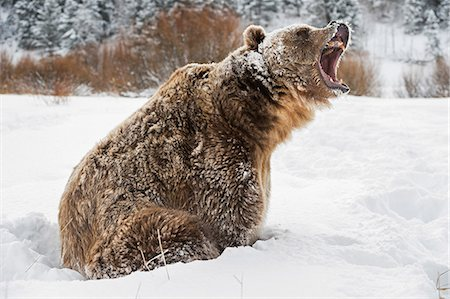 Brown bear (grizzly) (Ursus arctos), Montana, United States of America, North America Stock Photo - Rights-Managed, Code: 841-08211558