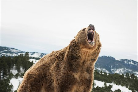 Brown bear (grizzly) (Ursus arctos), Montana, United States of America, North America Stock Photo - Rights-Managed, Code: 841-08211571