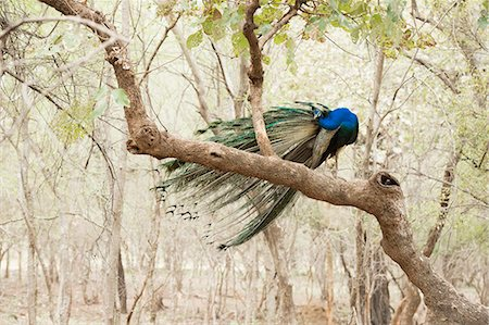 Peacock (Indian peafowl) (Pavo cristatus), Ranthambhore, Rajasthan, India, Asia Stock Photo - Rights-Managed, Code: 841-08244027