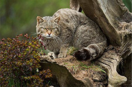 pictures cats - Scottish wildcat (wildcat) (Felis silvestris), Devon, England, United Kingdom, Europe Stock Photo - Rights-Managed, Code: 841-08244031