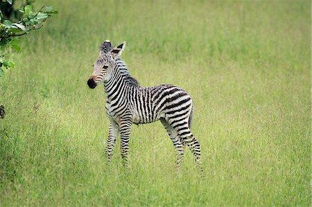 Crawshays zebra foal (Equus quagga crawshayi), South Luangwa National Park, Zambia, Africa Stock Photo - Rights-Managed, Code: 841-08244049