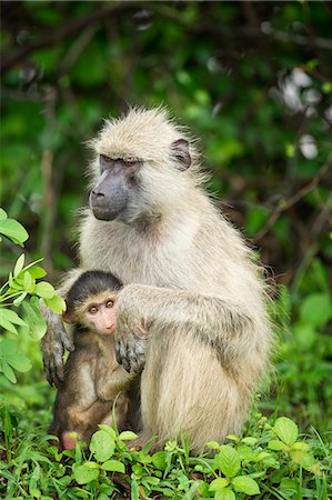 Mother and baby yellow baboon (Papio cynocephalus), South Luangwa National Park, Zambia, Africa Stock Photo - Rights-Managed, Code: 841-08244041