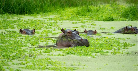 swimming - Hippopotamus (Hippos) wallowing in Hippo pool, South Luangwa National Park, Zambia, Africa Stock Photo - Rights-Managed, Code: 841-08244050
