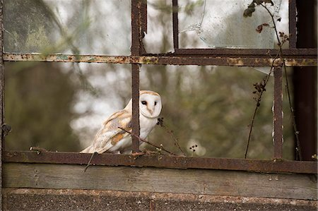 Barn owl (Tyto alba), Herefordshire, England, United Kingdom, Europe Stock Photo - Rights-Managed, Code: 841-08244060
