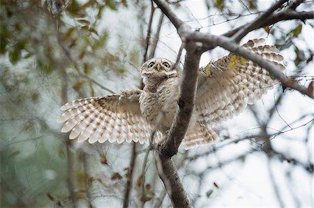 Spotted owlet (Athene brama), Ranthambhore, Rajasthan, India, Asia Stock Photo - Rights-Managed, Code: 841-08244070