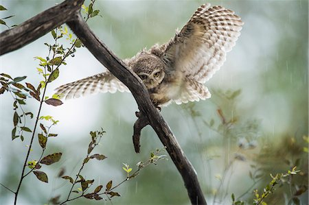 Spotted owlet (Athene brama), Ranthambhore, Rajasthan, India, Asia Stock Photo - Rights-Managed, Code: 841-08244071