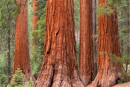 Bachelor and Three Graces Sequoia tress in Mariposa Grove, Yosemite National Park, UNESCO World Heritage Site, California, United States of America, North America Stock Photo - Rights-Managed, Code: 841-08279394