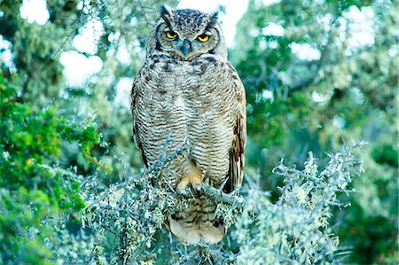 Great horned owl (Bubus Virginianus nacurutu), Patagonia, Argentina, South America Stock Photo - Rights-Managed, Code: 841-08357291