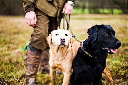Gun dogs, Buckinghamshire, England, United Kingdom, Europe Stock Photo - Rights-Managed, Code: 841-08357536