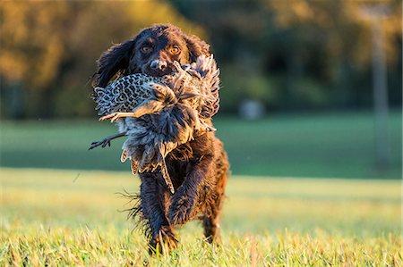 Gun dog with pheasant, Buckinghamshire, England, United Kingdom, Europe Stock Photo - Rights-Managed, Code: 841-08357543