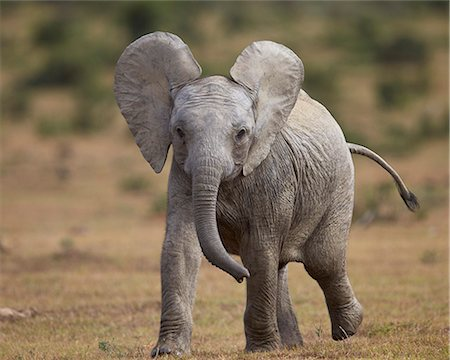 Young African elephant (Loxodonta africana), Addo Elephant National Park, South Africa, Africa Stock Photo - Rights-Managed, Code: 841-08357625