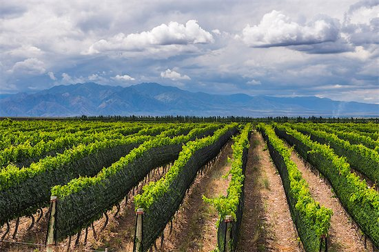 Vineyards in the Uco Valley (Valle de Uco), a wine region in Mendoza Province, Argentina, South America Stock Photo - Premium Rights-Managed, Artist: robertharding, Image code: 841-08421047