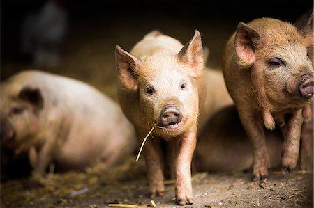 Piglet, Hertfordshire, England, United Kingdom, Europe Stock Photo - Rights-Managed, Code: 841-08421304