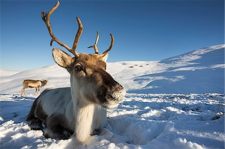 reindeer in snow - Reindeer (Rangifer tarandus) female, Cairngorms National Park, Scotland, United Kingdom, Europe Stock Photo - Rights-Managed, Code: 841-08421412