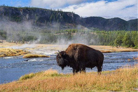 American Bison (Bison bison), Little Firehole River, Yellowstone National Park, UNESCO World Heritage Site, Wyoming, United States of America, North America Stock Photo - Rights-Managed, Code: 841-08421430