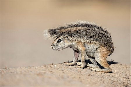 Ground squirrel (Xerus inauris) young, Kgalagadi Transfrontier Park, Northern Cape, South Africa, Africa Stock Photo - Rights-Managed, Code: 841-08568987