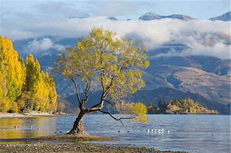 Lone willow tree growing at the edge of Lake Wanaka, autumn, Roys Bay, Wanaka, Queenstown-Lakes district, Otago, South Island, New Zealand, Pacific Stock Photo - Rights-Managed, Code: 841-08861015