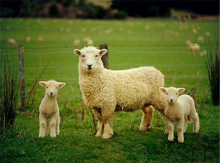 Ewe and twin lambs on sheep farm, Marlborough, South Island, New Zealand Stock Photo - Rights-Managed, Code: 841-02709021