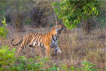 Bengal tiger, (Panthera tigris), Bandhavgarh, Madhya Pradesh, India Stock Photo - Rights-Managed, Code: 841-02718147