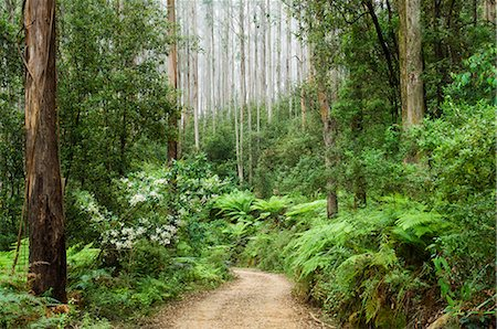 road landscape - Road through rainforest, Yarra Ranges National Park, Victoria, Australia, Pacific Stock Photo - Rights-Managed, Code: 841-02718848