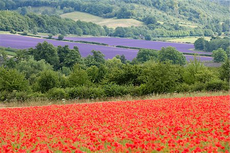 simsearch:845-03720933,k - Lavender and poppies, Shoreham, near Sevenoaks, Kent, England, United Kingdom, Europe Stock Photo - Rights-Managed, Code: 841-02711412