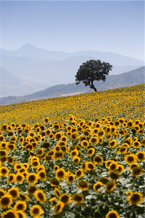 simsearch:845-03720933,k - Sunflowers, near Ronda, Andalucia (Andalusia), Spain, Europe Stock Photo - Rights-Managed, Code: 841-02721420