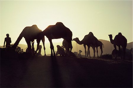 rajasthan camel - Camel Fair, Pushkar, Rajasthan state, India, Asia Stock Photo - Rights-Managed, Code: 841-02900416