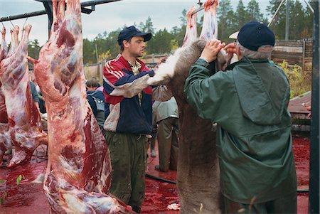 Annual Sami reindeer slaughter, Stora Sjofallet, Lappland, Sweden, Scandinavia, Europe Stock Photo - Rights-Managed, Code: 841-02903642