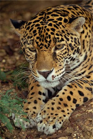 Jaguar, Belize, Central America Stock Photo - Rights-Managed, Code: 841-02924123