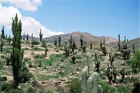 Cardones growing in the altiplano desert near Tilcara, Jujuy, Argentina, South America Stock Photo - Rights-Managed, Code: 841-02925438