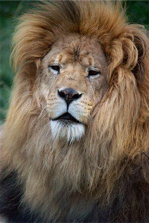 Lion, Chessington Zoo, Surrey, England, United Kingdom, Europe Stock Photo - Rights-Managed, Code: 841-02920395