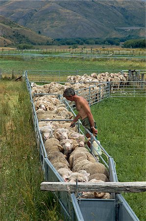 Sheep drenching, central Otago, South Island, New Zealand, Pacific Stock Photo - Rights-Managed, Code: 841-02921131