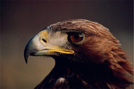 Portrait of a golden eagle, Highlands, Scotland, United Kingdom, Europe Stock Photo - Rights-Managed, Code: 841-02944082