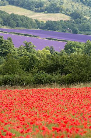 simsearch:845-03720933,k - Lavender and poppies, Shoreham, near Sevenoaks, Kent, England, United Kingdom, Europe Stock Photo - Rights-Managed, Code: 841-02945304