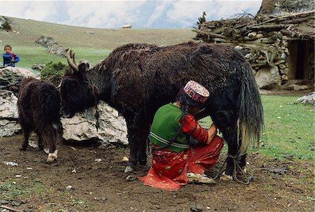 A woman in an embroidered hat milking the yak-cow, Yash-Pert Summer Diary in the Hunza area of Pakistan, Asia Stock Photo - Rights-Managed, Code: 841-02945891