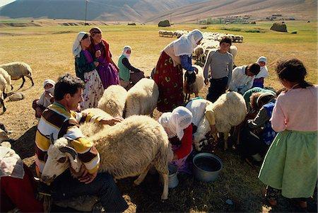 Milking sheep, Kurdistan, Anatolia, Turkey, Asia Minor, Eurasia Stock Photo - Rights-Managed, Code: 841-02945912