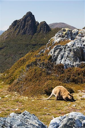 Peaks of Cradle Mountain, 1545m, and wallaby feeding on shrubs on the Overland Track, Cradle Mountain Lake St. Clair National Park, part of Tasmanian Wilderness, UNESCO World Heritage Site, Tasmania, Australia, Pacific Stock Photo - Rights-Managed, Code: 841-03055061