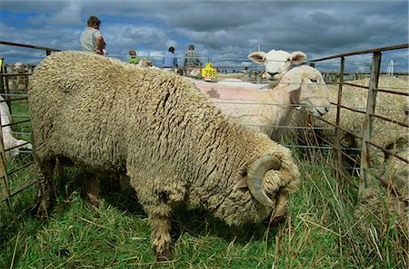 Sheep at the Mayfield Country Show on the Canterbury Plains, South Island, New Zealand, Pacific Stock Photo - Rights-Managed, Code: 841-03067738