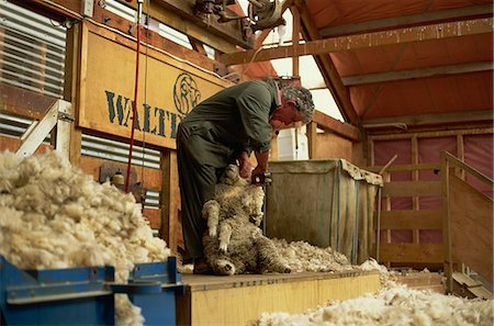Demonstration of traditional sheep-shearing with clippers at Walter Peak, a famous old sheep station, western Otago, South Island, New Zealand, Pacific Stock Photo - Rights-Managed, Code: 841-03067752