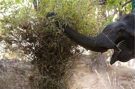Indian elephant (Elephus maximus) eating, Bandhavgarh National Park, Madhya Pradesh state, India, Asia Stock Photo - Rights-Managed, Code: 841-03061659