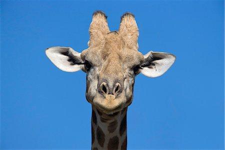 Giraffe (Giraffa camelopardalis), Kgalagadi Transfrontier Park, Northern Cape, South Africa, Africa Stock Photo - Rights-Managed, Code: 841-03490055