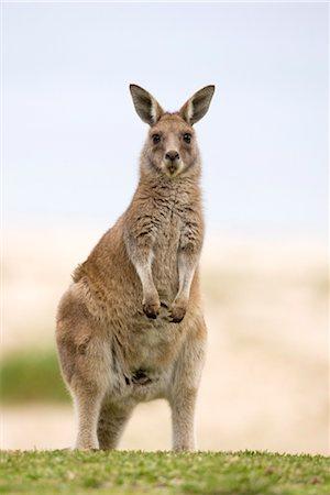 Eastern grey kangaroo (Macropus fuliginosus), Marramarang National Park, New South Wales, Australia, Pacific Stock Photo - Rights-Managed, Code: 841-03490067
