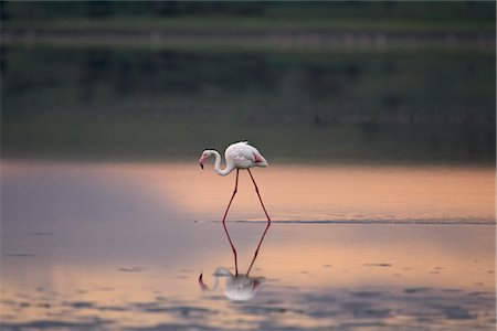 serengeti national park - Greater flamingo (Phoenicopterus ruber) reflected in Lake Ndutu at sunset, Serengeti National Park, Tanzania, East Africa Stock Photo - Rights-Managed, Code: 841-03490173