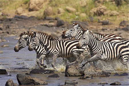 Common zebra or Burchell's zebra (Equus burchelli) crossing the Mara River, Masai Mara National Reserve, Kenya, East Africa, Africa Stock Photo - Rights-Managed, Code: 841-03490183