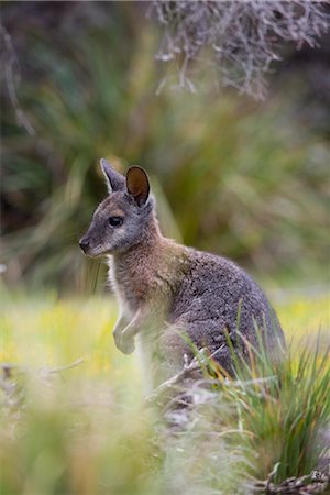 Tammar wallaby (Macropus eugenii), Kangaroo Island, South Australia, Australia, Pacific Stock Photo - Rights-Managed, Code: 841-03505821