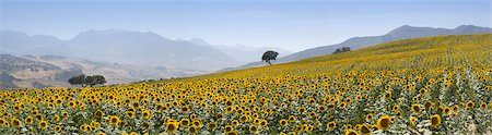 simsearch:845-03720933,k - Sunflowers, near Ronda, Andalucia (Andalusia), Spain, Europe Stock Photo - Rights-Managed, Code: 841-03518116
