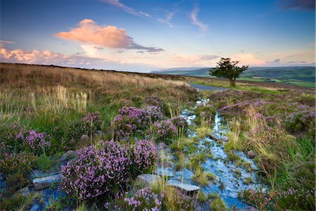 european union - Flowering heather on Dunkery Hill in summertime, Exmoor National Park, Somerset, England, United Kingdom, Europe Stock Photo - Rights-Managed, Code: 841-03518642
