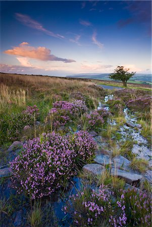 simsearch:845-03720933,k - Bell heather growing on Dunkery Hill in Exmoor National Park, Somerset, England, United Kingdom, Europe Stock Photo - Rights-Managed, Code: 841-03518643